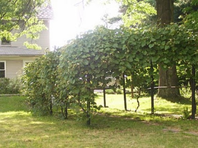grape arbor before