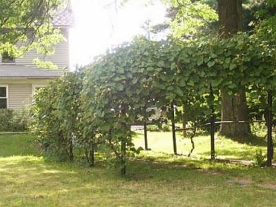 grape arbor before