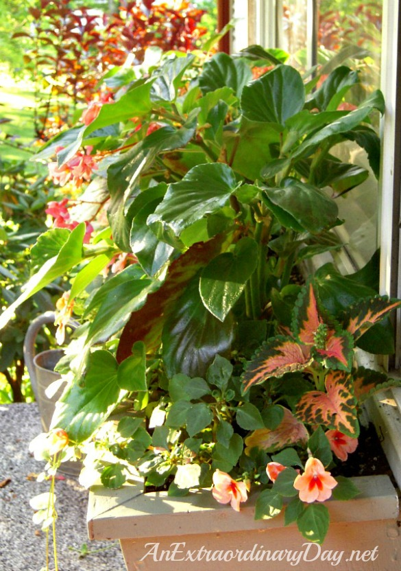 How-to-plant-a-window-box-garden-Dragon-Wing-Begonias-AnExtraordinaryDay