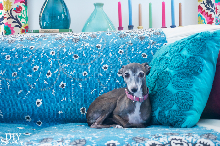 Italian Greyhound Rosie