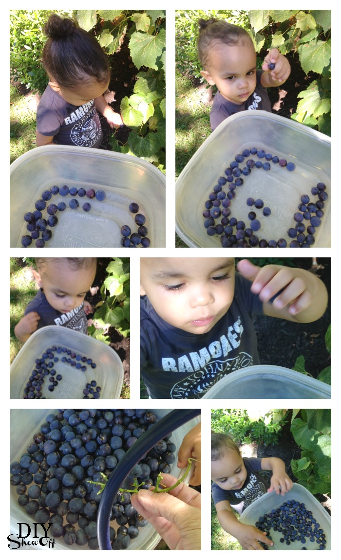 grape harvest @diyshowoff