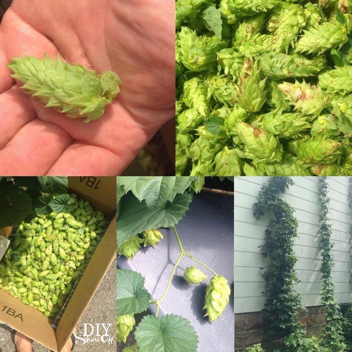 hops harvest @diyshowoff